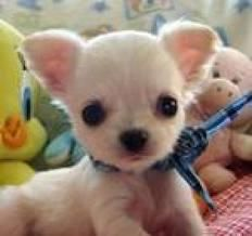 Makes me want to get another sweet chihuhua like my tucker!!!
