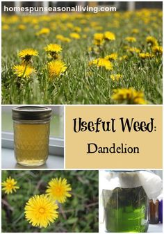 Useful Weed: Dandelion - Homespun Seasonal LIving Edible Plants, Edible Flowers, Edible Garden, Healing Herbs, Medicinal Plants, Natural Healing, Herbal Remedies, Natural Remedies, Weed