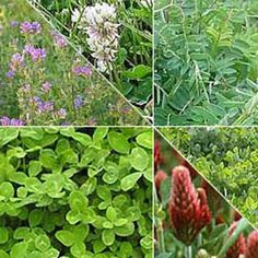 An organic cover crop to improve garden soil while attracting beneficial bugs, controlling soil erosion, and suppressing weeds.