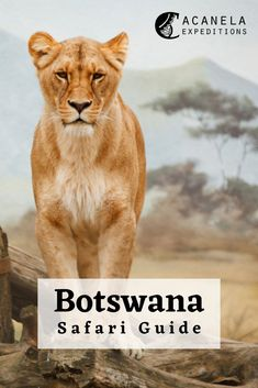 Botswana is a country found in Southern Africa and is a popular tourist destination for safaris of all kinds. The diverse wildlife found in this country is what makes it such a desirable safari destination. There are a variety of different safaris to go on in Botswana such as boating, canoeing, bird watching, and many more. Safaris are the perfect adventure for adults and children alike and all explorers in Botswana are guaranteed to spot a few rare and majestic animals along the way…