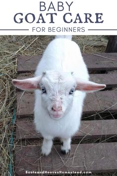 Baby goat care for beginners. The tips you need to getting started with raising newborn goats. #goats #raisinggoats Raising Goats, Raising Chickens, Baby Puppies, Dogs And Puppies, Baby Animals, Cute Animals, Farm Lifestyle, Otters Cute, Goat Care