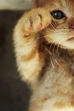 I'm a beckoning cat(招き猫) Real life Maneki Neko!