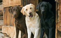 The most beautiful breed...Labrador.