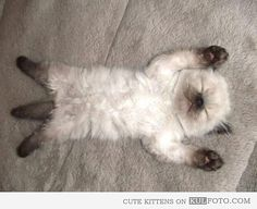 ・・・Sleeping Siamese kitten. This picture makes me happy just looking at it.