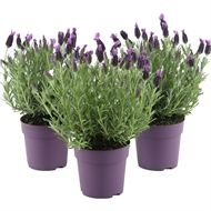 Find French Lavender - at Homebase. Visit your local store for the widest range of garden & outdoor products. Dried Flower Arrangements, Dried Flowers, Dwarf Evergreen Shrubs, Dark Purple Flowers, Meadow Garden, Small Outdoor Spaces, French Lavender, Lavender Scent, Hedges