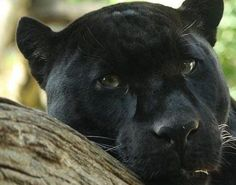 Panther (Panthera pardus, Panthera onca ) - The Panther is not a distinct species itself but is the general name used to refer to any black coloured feline of the Big Cat family, most notably Leopards and Jaguars. The Panther is an elusive and powerful animal that has adapted well to a variety of habitats around the world, and is known to be one of the strongest climbers of all felines.