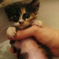 Treat Kittens Fleas: Safely