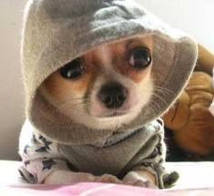 Chihuahua with hoody...too cute
