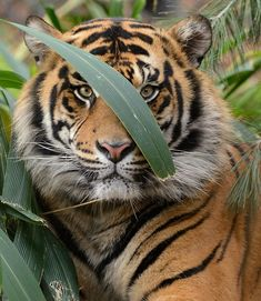 Tiger Standing Behind Jungle Greens.