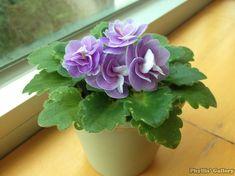 Peppermint Girl | (H. Pittman) Double rose/white edge. Tiny, girl foliage…