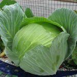 Como cultivar #brocoli y #repollo  / How to harvest broccoli @Pilar Hernandez-Enmicocinahoy