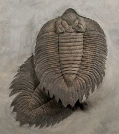 A spectacular double Arctinurus trilobite.  One of the best found.  For sale at FossilEra.com