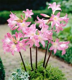88 Best Growing Pretty In Pink Garden Images Planting Flowers