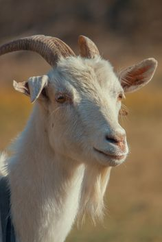 Farm Animals, Animals And Pets, Cute Animals, Cabras Saanen, Happy Goat, Raising Goats, Goat Farming, Country Scenes, Animal Faces