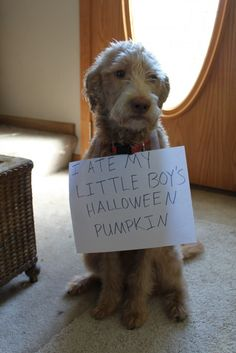 Not such fun: Vets and animal welfare experts claim the 'dog shaming' craze undermines pets' dignity You Funny, Funny Dogs, Funny Animals, Cute Animals, Funny Things, Dog Shaming Pictures, Cute Puppy Pictures, Labradoodle, Goldendoodles