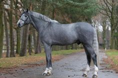 pics of gray swedish warmbloods WPE Gratis Z is a 2006 Grey Swedish Warmblood Stallion who is sired by Dutch Warmblood, Warmblood Horses, Cute Horse Pictures, Horse Photos, Most Beautiful Horses, All The Pretty Horses, Cute Horses, Horse Love, Arte Equina