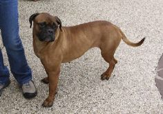 Lovables: Houston 02/12/14 My name is Delta and I'm a big beautiful boxer / mastiff mix who is approximately 2 years old. I was found as a stray with a hurt leg and th...