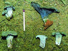 Gombamánia: A boldogság kék gombái 22.