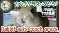 カウチグラスってどう?【ウサギのだいだい 】 Rabbit eats couch grass. 2016年3月31日