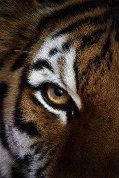 Eye of a Siberian Tiger. (by Brad Wilson). Animals And Pets, Baby Animals, Cute Animals, Wild Animals, Beautiful Cats, Animals Beautiful, Gato Grande, Siberian Tiger, Bengal Tiger