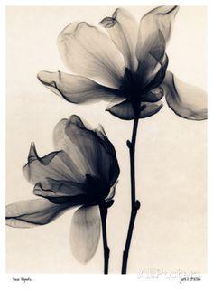 Tulpen-Magnolie Poster von Judith Mcmillan bei AllPosters.de
