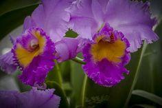 Purple Duo- Purple Cattleya Orchid #Calazones Flics #Photography #Orchid