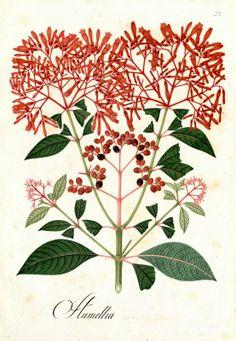 Hamellia. Proyecto de digitalización de los dibujos de la Real Expedición Botánica del Nuevo Reino de Granada (1783-1816), dirigida por José Celestino Mutis: www.rjb.csic.es/icones/mutis. Real Jardín Botánico-CSIC.