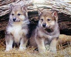 Grey Wolf pups. I am drawing the one on the left!