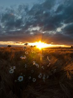 Cornflower Sunset