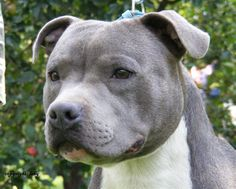 Blue Staffordshire Bull Terrier - I want one!!
