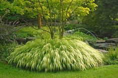 Golden Japanese Forest Grass. I haven't seen this before. Prefers shade and wet soil. Might be perfect beside our side deck.