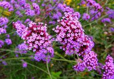 Self seeders: Verbena bonariensis