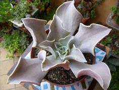 Echeveria Strictiflora Bustamante Seeds,Growing Cactus seeds is fun & rewarding FOR SALE • CAD $2.82 • See Photos! Money Back Guarantee. PLEASE USE DROP DOWN BOX TO ORDER Echeveria strictiflora is a small succulent plant medium to light gray leaves and thick sheet gray, white margined, rigid, thick, fleshy, slightly twisted 262333341760