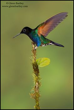 ~~Velvet-purple Coronet (Boissonneaua jardini) Hummingbird by Glenn Bartley~~
