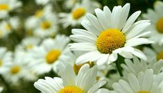 Did you know a daisy is actually two flowers in one?! The white petals count as one flower and the yellow cluster of disc petals is another flower. #PhotosNotPasswords
