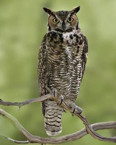 Great horned Owl~ oh my, I think we have one in our back yard area.  I thought it was a dove.  The sound is somewhat similar.