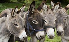 If you wonder what a donkey can eat, you can find all important feeding facts here. Take good care of your donkey with best information. Donkey Donkey, Baby Donkey, Cute Donkey, Mini Donkey, Animals And Pets, Cute Animals, Miniature Donkey, Photo Animaliere, Barnyard Animals