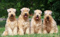 Irish Soft Coated Wheaten Terriers