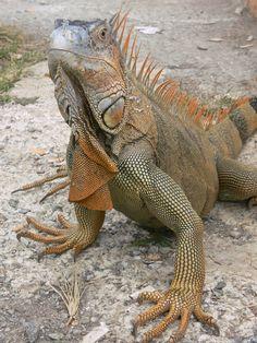 Iguana at Iguana Bridge in Costa Rica. Photo by Michelle Healy. Iguane vert. (Iguana iguana).