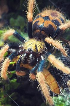 "adorablespiders: ""Green bottle blue tarantula spiderling image source """