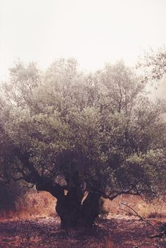 Aisling. Our oldest olive tree. 800+ years old.