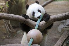 Giant panda Xiao Liwu selects his next piece of bamboo