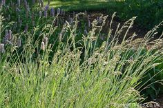 festuca and carex - Google Search