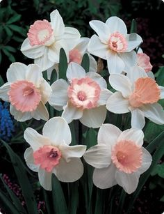 I bought some pink daffodil bulbs from a catalog many years ago and have them in my back yard.  So pretty.