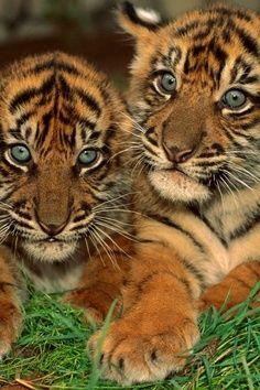 cute Bengal Tiger cubs. Wish frank would let me get a tiger... :(
