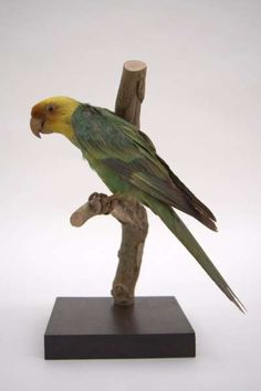 The Carolina Parakeet Was The Only Parrot Species Native To The - Most northerly state usa