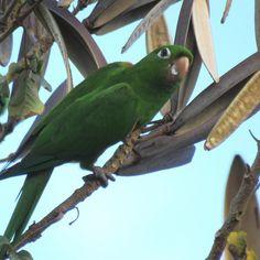 Hispaniolan Parakeet (Psittacara chloropterus) adult feeding on seeds at the…