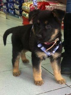 Martita german Shepherd was 2 months old Schaefer, Dogs, Animals, Cute Puppies, Animales, Animaux, Pet Dogs, Doggies, Animal