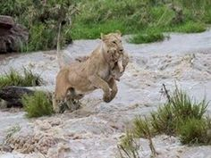 Lion tries to rescue her cub