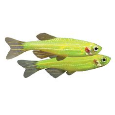 Ready, set, glow! GloFish are not dyed, they possess a natural fluorescence gene and their color won't fade.